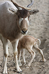 Newborn addax calf standing