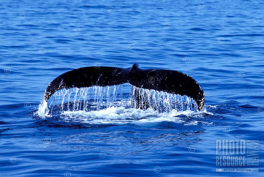 Whale tail off the coast of Maui