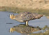 Crowned Sandgrouse - Pterocles coronatus<br /> male