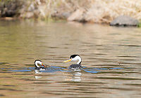 A Clark's Grebe, Aechmophorus clarkii, accepts a fish from its mate while swimming on Upper Klamath Lake, Oregon