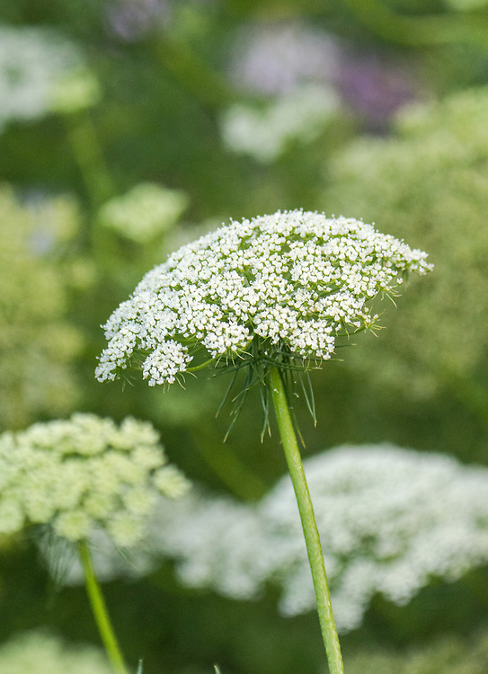 Ammi visnaga 'White', late July. A hardy annual from the carrot family, also known as Toothpick Plant, Khella, or Bishop's Weed.