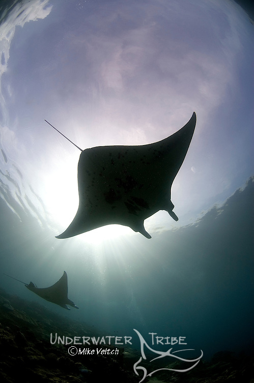 A pair of Manta Rays, Manta birostris, Mi'il Channel, Yap, Micronesia, Pacific Ocean