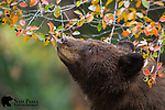 Large male black bear feeding on hawthorn berries during the fall. Grand Teton National Park, Wyoming.