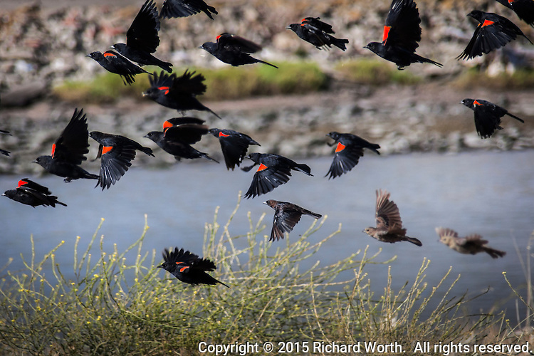 """A cluster of Red-winged blackbirds takes flight along San Francisco Bay.  Other collective nouns include a """"cloud"""" and """"merl"""" of blackbirds."""