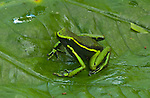 Three Striped Poison Frog (Epipidobates trivittatus) in Peruvian Amazon