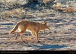 Coyote Yawn, Bosque del Apache Wildlife Refuge, New Mexico