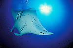 Giant manta ray (Manta birostris) and sunburst