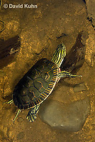 0216-1103  Western Painted Turtle Swimming Underwater, Chrysemys picta bellii  © David Kuhn/Dwight Kuhn Photography