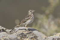 Berthelot's Pipit - Anthus berthelotii<br /> Madeira subspecies madeirensis