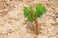 Domaine de l'Hortus. Pic St Loup. Languedoc. Vine leaves. Young vines. First year vines recently newly planted. Terroir soil. France. Europe. Sand.
