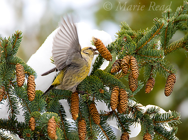 White-winged Crossbill (Loxia leucoptera), female taking wing with spruce cone in bill, New York, USA