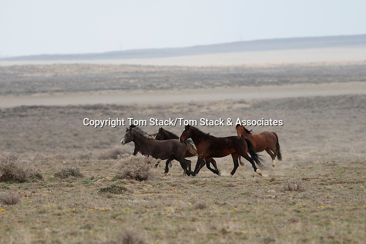 Rare and elusive wild horses in the Red Desert of Wyoming