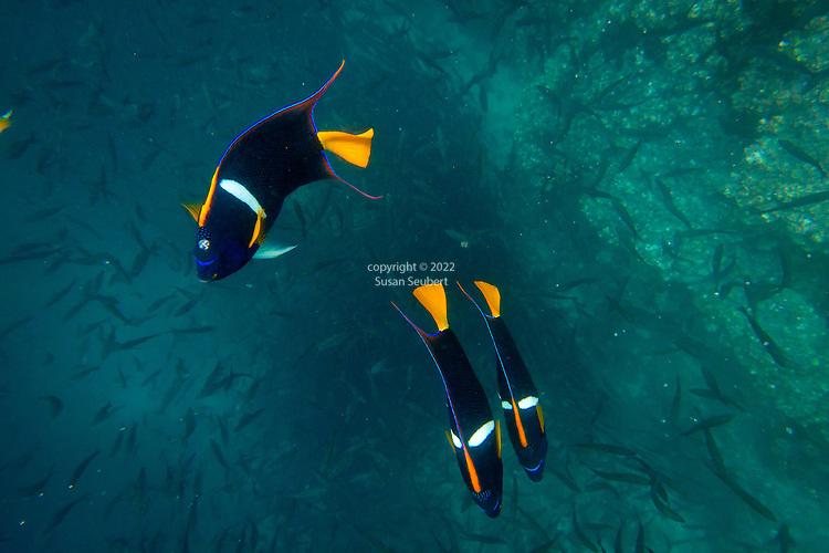 Snorkeling with king angelfish at Champion Islet near Floreana Island, Galapagos National Park, Galapagos, Ecuador