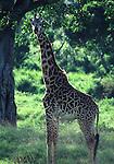 Masai giraffe in Masai Mara National Park