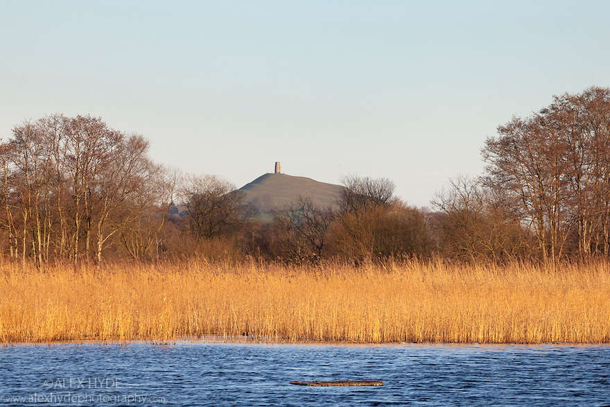 Reed beds at at RSPB Ham Wall reserve, with Glastonbury Tor in the Background. Somerset Levels, UK. February.