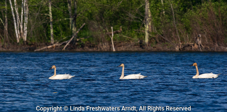 Trumpeter swans swimming on a wilderness lake in northern Wisconsin.