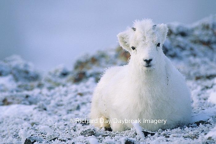 01989-00711 Dall sheep (Ovis dalli) young Yukon   Canada