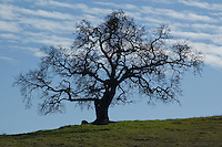Deciduous oak, Quercus sp. Mount Diablo State Park, California