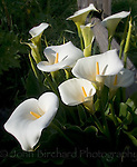 calla lilies growning along highway one in Mendocino County, california.