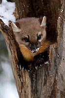 Martens (Martes americana) are common, but really rarely seen.<br />