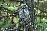 Great gray owl, Tongass National Forest, Alaska