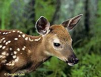 MA11-024z  White-tailed Deer - fawn - Odocoileus virginianus