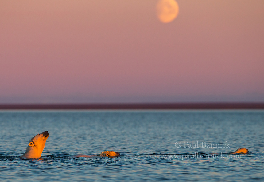 A Polar Bear and her two cubs swim by the light of the moon.