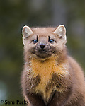 Pine marten. Grand Teton National Park, Wyoming.