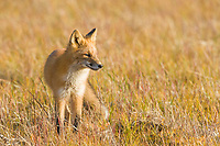 Red fox in the autumn grasses of wetlands on the Seward Peninsula, western Arctic, Alaska.