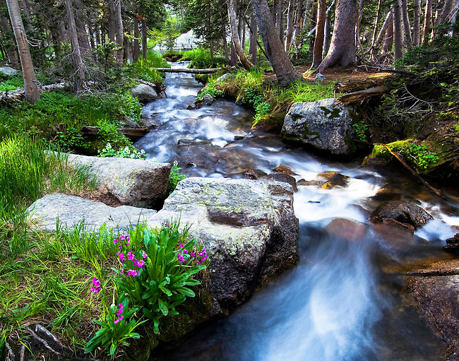 Andrews Creek, stream, wildflowers, Parry primrose, summer, green, morning, Rocky Mountain National Park, Colorado, USA