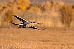 Greater Sandhill Cranes flying in to marsh, Bosque Del Apache National Wildlife Refuge, New Mexico, USA