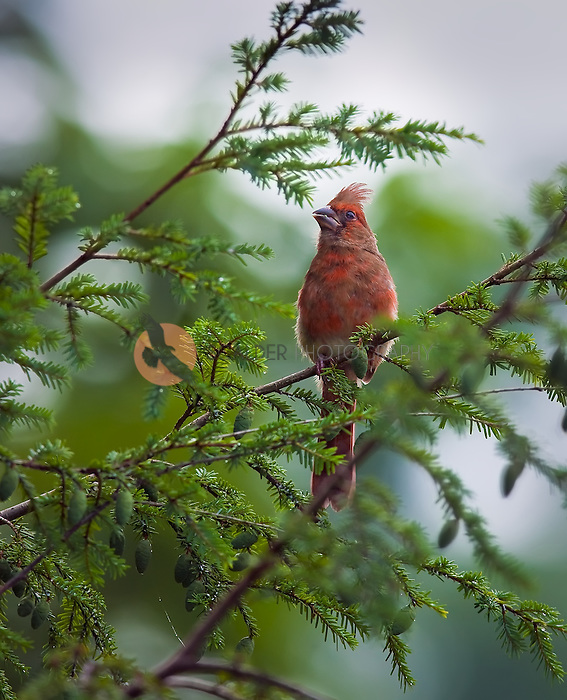 Juvenile Northern Cardinal sitting in a hemlock tree