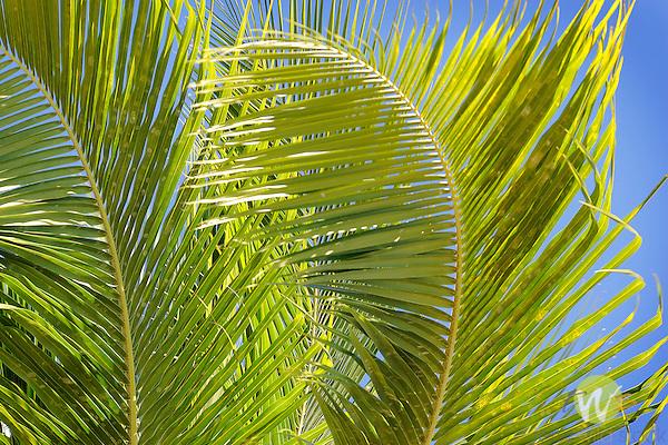 Westin Resort. Palm tree