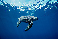 leatherback sea turtle, Dermochelys coriacea, mature female off Mexiquilla Beach, Mexico, East Pacific Ocean