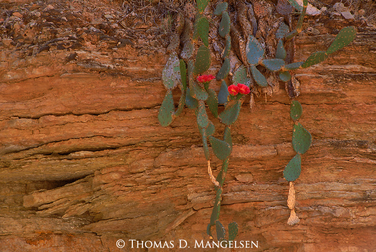 Eroded sandstone leaves this blooming prickly pear hanging over a ledge in Grand Canyon National Park, Arizona.