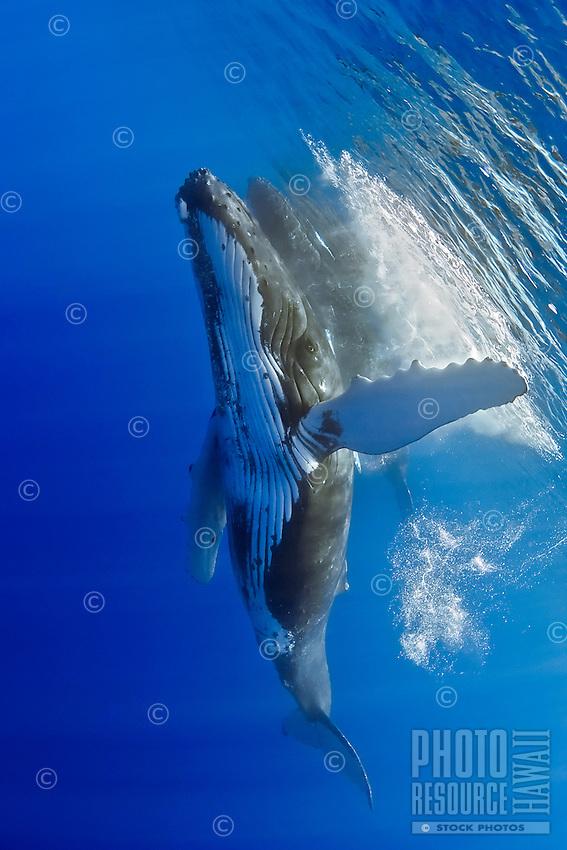 Humpback whales, Megaptera novaeangliae, Hawai'i.