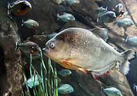 Stock photo: Group of Red Piranha fishes at Georgia Aquarium USA.