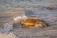 Australian flatback sea turtle, Natator depressus, female returns to ocean after nesting, Crab Island, off Cape York Peninsula, Torres Strait, Queensland, Australia