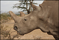 BNPS.co.uk (01202 558833)<br /> Pic: JanStejskal/ZOODvůrKr&aacute;lov&eacute;/BNPS<br /> <br /> Najin a Northern White Rhino is one of two females left in the wild, medical problems prevent her from conceiving naturally.<br /> <br /> A last-ditch bid is taking place involving a British safari park to save the world's rarest animal from extinction using a pioneering IVF treatment.<br /> <br /> There are only three northern white rhinos left in the world after the species has been virtually wiped out due to poaching over the last 50 years.<br /> <br /> The last remaining male, Sudan, is 43-years-old and reaching the end of his life. Both surviving females have medical problems which prevent them from conceiving naturally.<br /> <br /> As a result, team of experts have visited Longleat Safari Park in Wiltshire and harvested nine eggs from the zoo's three female southern white rhinos which will be fertilised with semen extracted from Sudan.