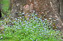 Forget-me-nots (Myosotis arvensis), mid May.