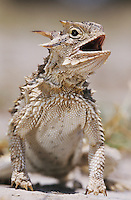 Texas Horned Lizard, Phrynosoma cornutum, adult, Starr County, Rio Grande Valley, Texas, USA