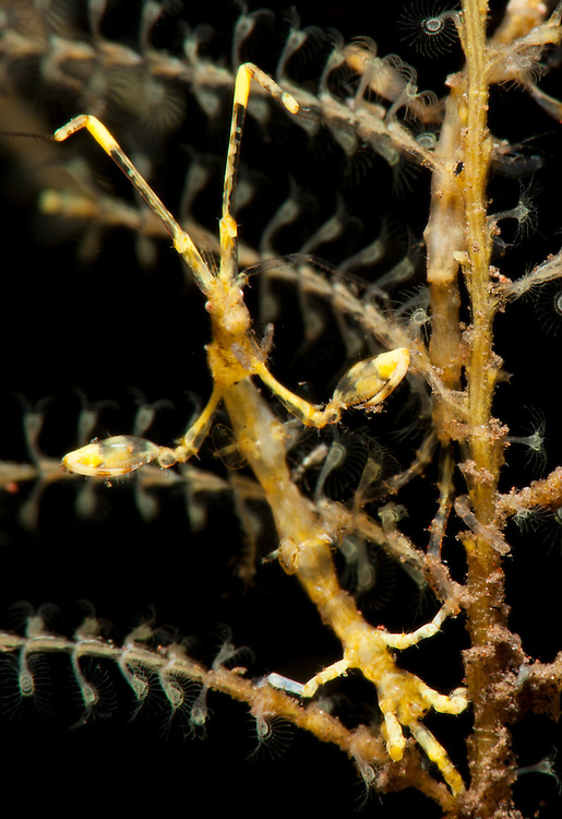 Yellow variety of skeleton shrimp: Caprella sp. Tulamben, Bali