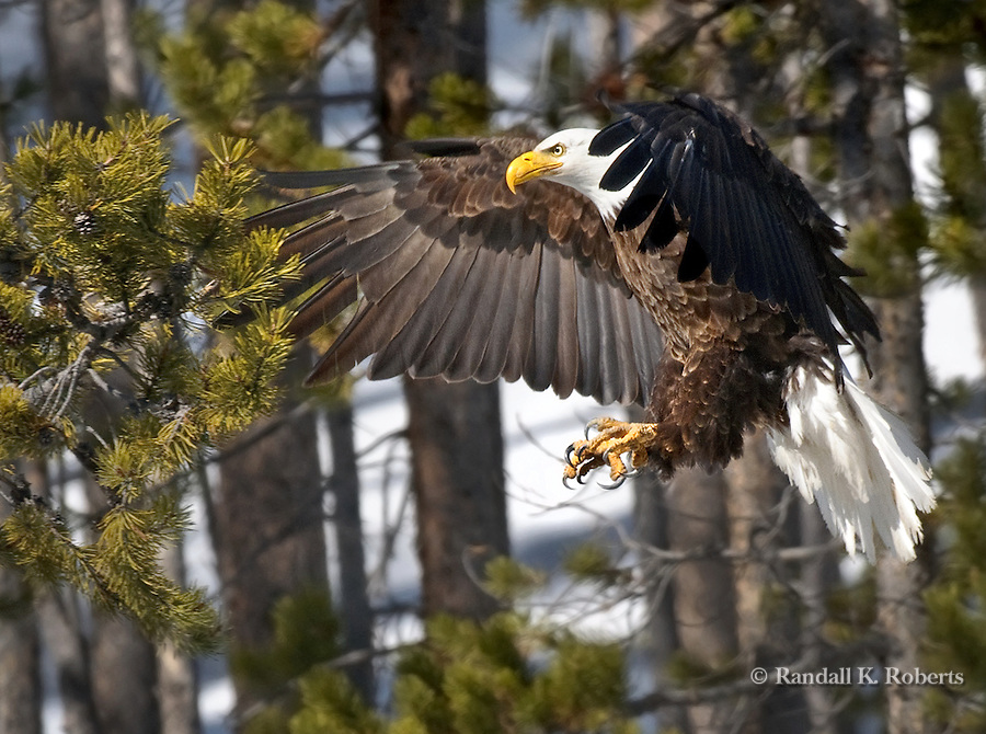 A bald eagle, Haliaeetus Leucocephalus, swoops in to land on a tree branch in Yellowstone National Park, Wyoming