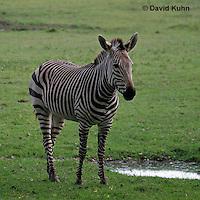 0209-08vv  Hartman's Mountain Zebra, Equus zebra hartmannae © David Kuhn/Dwight Kuhn Photography