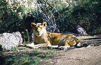 MAMMALS<br /> Female African Lion<br /> Phoenix Zoo