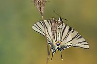 Segelfalter, Segel-Falter, Iphiclides podalirius, Scarce Swallowtail, Sail Swallowtail, Pear-tree Swallowtail, Le Flambé