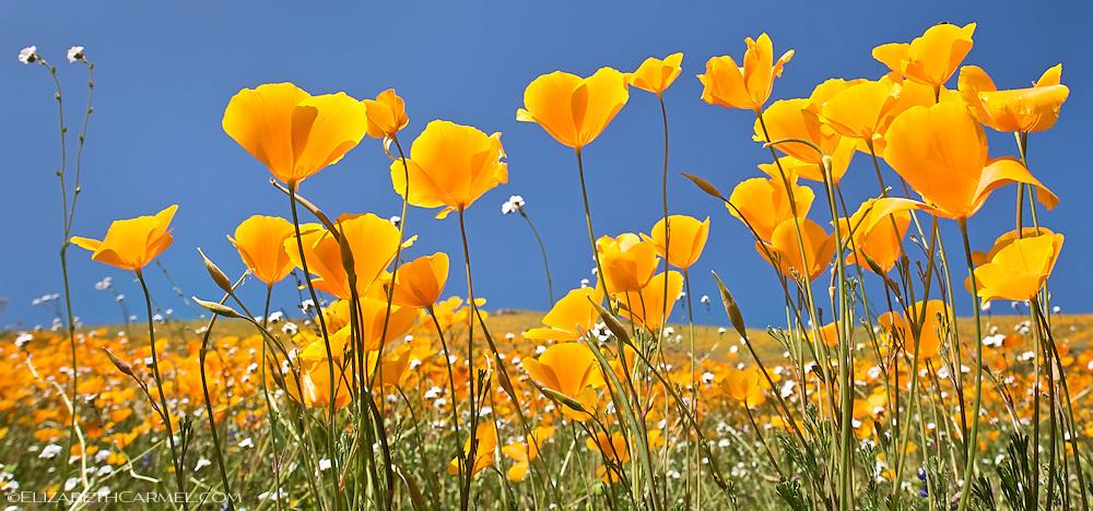 Poppies & Sunshine