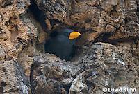 0728-1002  Grosbeak Starling Tending Nest (Grosbeak Myna or Scissor-billed Starling), Southeast Asian Bird, Scissirostrum dubium  © David Kuhn/Dwight Kuhn Photography