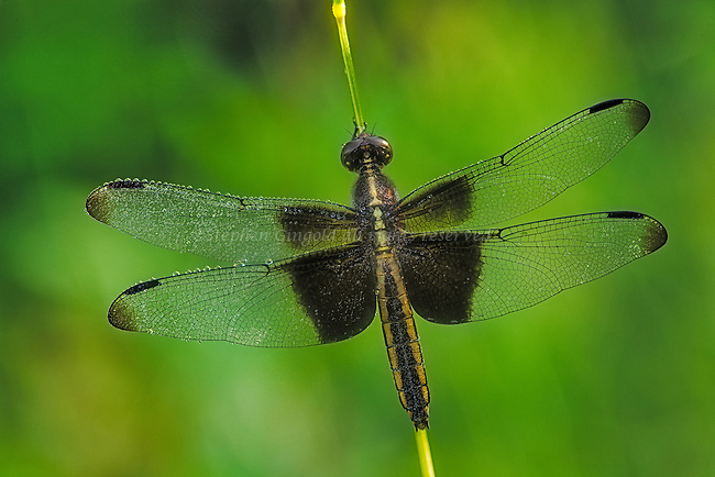 A widow skimmer dragonfly in a wet meadow.