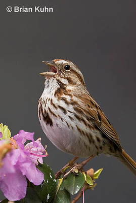 SW01-9001 Song Sparrow Male singing, Melospiza melodia, © Brian Kuhn/Dwight Kuhn Photography.